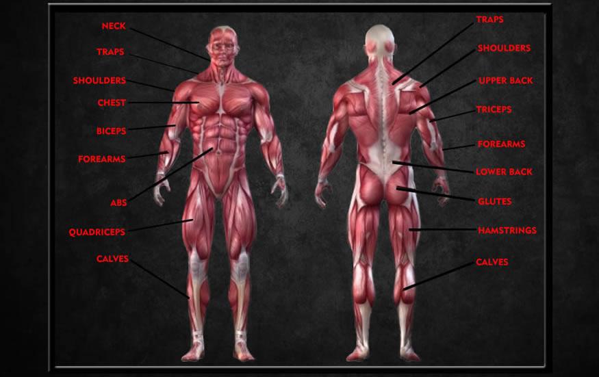 Intensity Nutrition Muscle Chart
